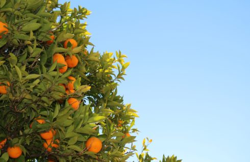 _nature-sky-fruits-tree